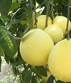 柚子种植基地